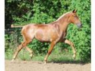 Champion Yearling ANCCEIALHAUSEF PRE Andalusian Filly With 3x Leviton