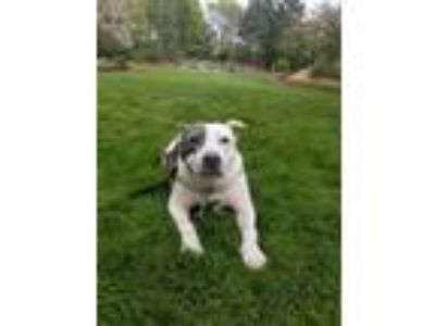 Adopt Midnight a Pit Bull Terrier, American Staffordshire Terrier