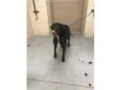 Adopt LUNA a Black American Pit Bull Terrier / Mixed dog in Conroe