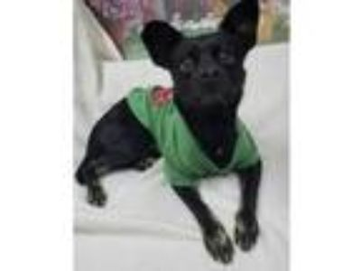 Adopt JAX a Boston Terrier