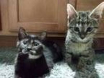 Adopt Lily and Allyah a Domestic Short Hair