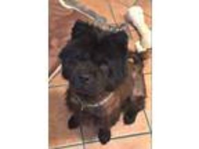 Adopt Devi a Black Chow Chow / Mixed dog in Houston, TX (25303642)