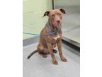 Adopt Hugo a Brown/Chocolate American Staffordshire Terrier / Mixed dog in