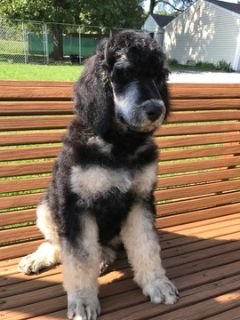 Poodle (Standard) PUPPY FOR SALE ADN-96148 - Samantha and Lincons July 4th babies