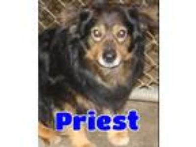 Adopt #111 Priest a Brown/Chocolate - with Black Shepherd (Unknown Type) / Mixed