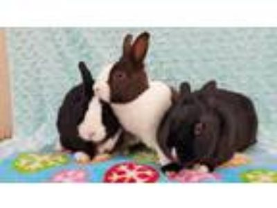 Adopt Peaches (bonded to Prince and Duncan) a Dutch / Mixed rabbit in San Diego