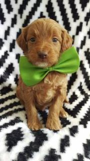 Goldendoodle PUPPY FOR SALE ADN-75125 - F2b Jasmine