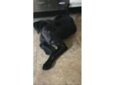 Adopt Peter a Labrador Retriever