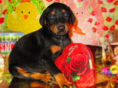 DOBERMAN PINSCHER PUPPIES FOR SALE ONLY $750.00 EACH........