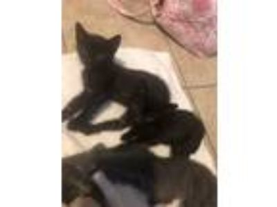 Adopt Free Kittens a Black (Mostly) American Shorthair cat in Houston