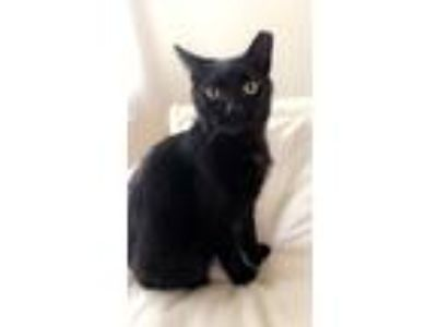 Adopt Gigi a Black (Mostly) Domestic Shorthair (short coat) cat in Clarksville