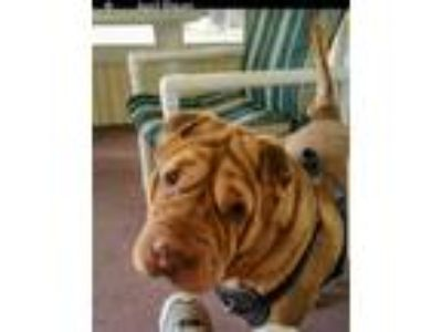 Adopt Enzo a Red/Golden/Orange/Chestnut Shar Pei / Mixed dog in Tampa