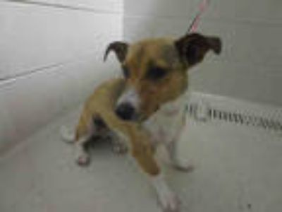 Adopt a Brown/Chocolate - with White Jack Russell Terrier / Mixed dog in Winter