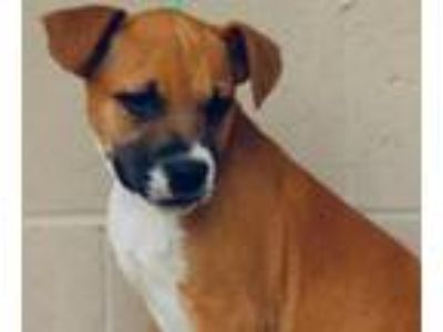 Adopt Court - beautiful puppy, so happy a Boxer