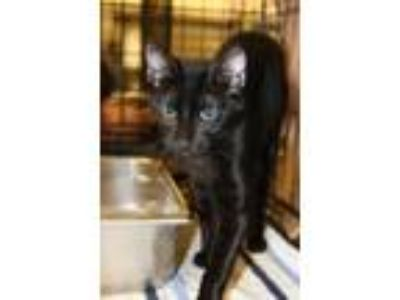Adopt Fizzgig a All Black Domestic Shorthair / Domestic Shorthair / Mixed cat in