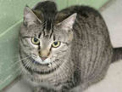 Adopt *ALEXIS a Brown Tabby Domestic Shorthair / Mixed (short coat) cat in