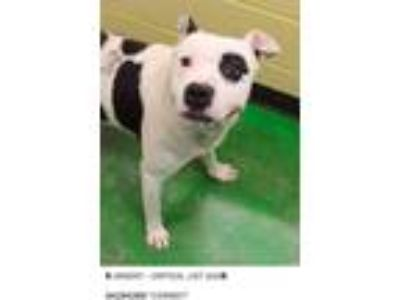 Adopt Cowboy a Black - with White American Staffordshire Terrier / Pit Bull