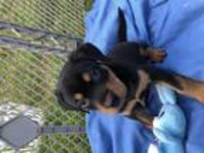Adopt Johnny-Jump-Up a Black - with Tan, Yellow or Fawn Rottweiler / Labrador