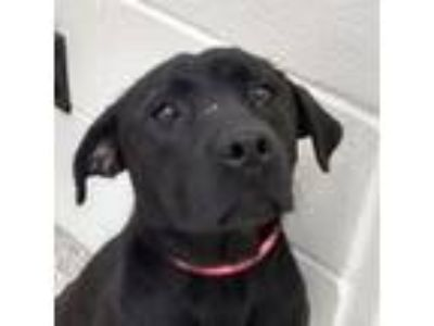 Adopt Stella-Blue a Black Labrador Retriever