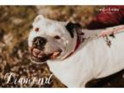 Adopt Diamond a White - with Black American Pit Bull Terrier / Mixed dog in