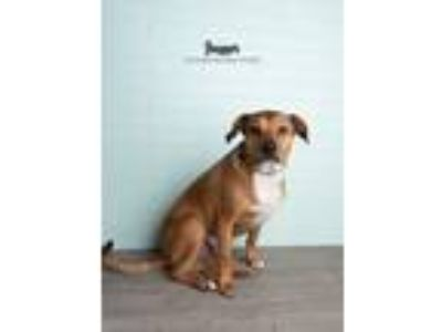 Adopt Jagger a Brown/Chocolate - with White Labrador Retriever / Boxer dog in