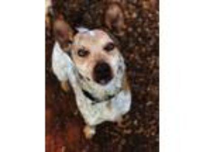 Adopt Roadrunner a Australian Cattle Dog / Blue Heeler, Mixed Breed