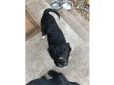 Adopt Ollie a Black - with White Collie / Labrador Retriever / Mixed dog in