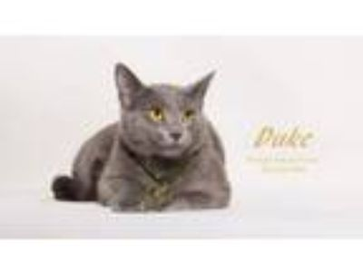 Adopt DUKE a Russian Blue