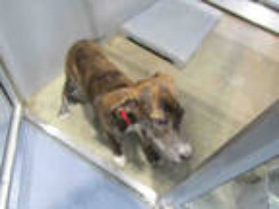 Adopt RUBY a Brindle - with White Plott Hound / Mixed dog in Mobile
