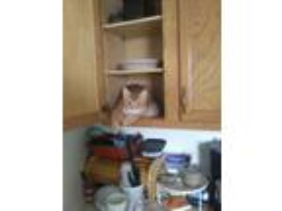 Adopt Tiger a Orange or Red Domestic Longhair / Mixed cat in Ellwood City
