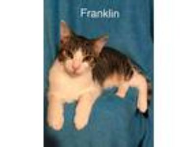 Adopt Franklin a Gray or Blue (Mostly) Domestic Shorthair (short coat) cat in