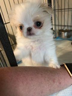 Japanese Chin PUPPY FOR SALE ADN-104820 - Laffy Taffy Lemon White Male