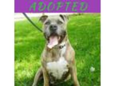 Adopt Rocket a American Staffordshire Terrier