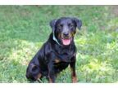 Adopt LADYBUG-FOSTER NEEDED! a Rottweiler / Mixed dog in Spring Valley