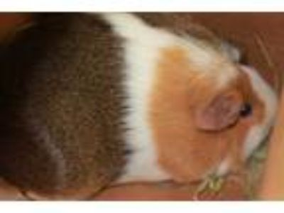 Adopt MYOLIE a Brown or Chocolate Guinea Pig / Mixed small animal in Waterford