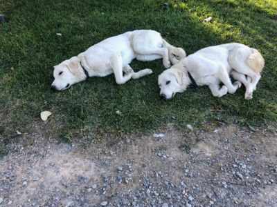 2 White Pyrenees dogs