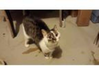 Adopt Sandy a Tan or Fawn (Mostly) American Shorthair cat in Streetsboro