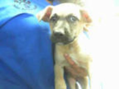 Adopt BUTTERCUP a Tan/Yellow/Fawn - with Black Labrador Retriever / Mixed dog in