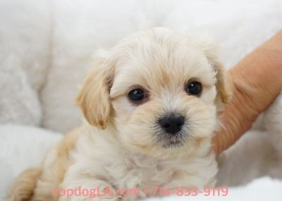 Maltipoo Puppy - Male - Chai ($1,299)