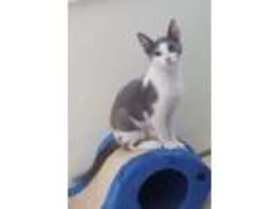 Adopt Chester a Domestic Shorthair / Mixed cat in Ferndale, MI (25367555)