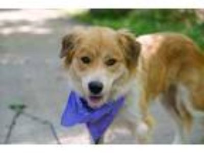 Adopt Chimi a White Australian Shepherd / Great Pyrenees / Mixed dog in Dallas