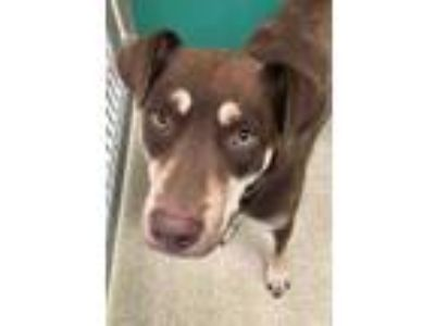 Adopt 41923997 a Brown/Chocolate Shepherd (Unknown Type) / Mixed dog in Bryan