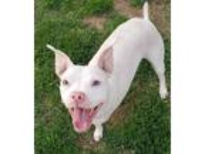 Adopt Bella a White - with Tan, Yellow or Fawn American Pit Bull Terrier / Mixed