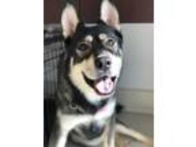 Adopt NAALA a Black - with Tan, Yellow or Fawn Siberian Husky / Shepherd