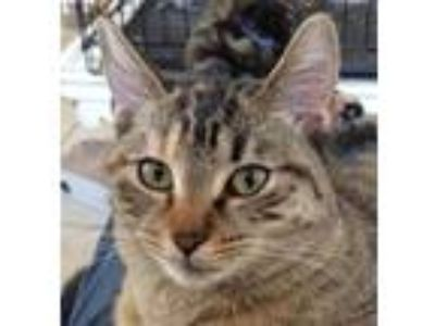 Adopt Tessa a Brown Tabby Domestic Shorthair / Mixed (short coat) cat in Mobile