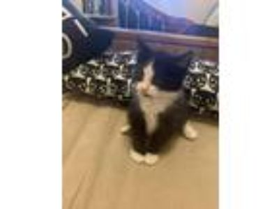 Adopt Patty Melt a Black & White or Tuxedo Domestic Shorthair / Mixed cat in