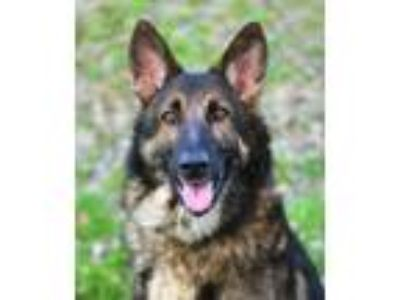 Adopt Gonzo a German Shepherd Dog