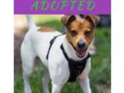 Adopt Chico a White - with Brown or Chocolate Jack Russell Terrier dog in