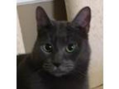 Adopt Grayson a Gray or Blue Russian Blue / Mixed (short coat) cat in Mobile