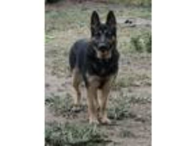 Adopt Vinny a Black - with Tan, Yellow or Fawn German Shepherd Dog / Mixed dog